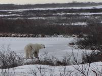 5 Night Churchill Tour And Polar Bear Adventure From Winnipeg