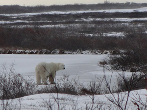 5 Night Churchill Tour And Polar Bear Adventure From Winnipeg Fotos