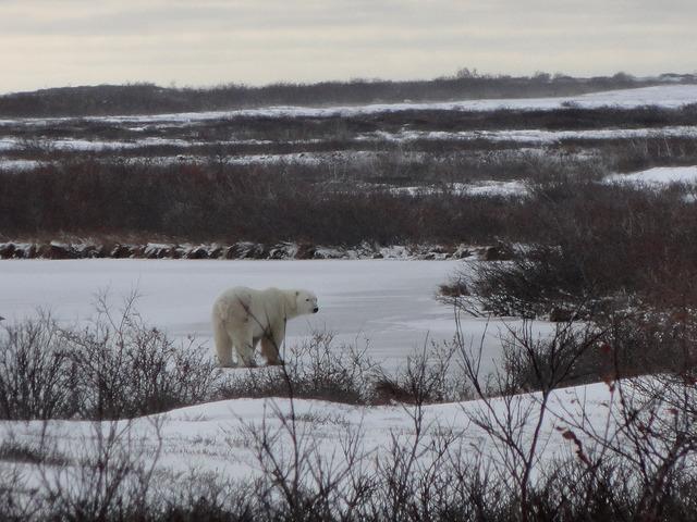5 Night Churchill Tour And Polar Bear Adventure From Winnipeg Photos