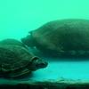 Pond Terrapin Turtle