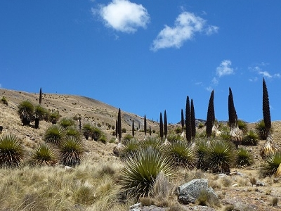 Puya Raimondii - Ancash - Peru