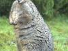 Tasmanian Pademelon In Narawntapu