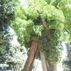 The Oldest Tree In Paris