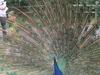 Peacock In Detroit Zoo