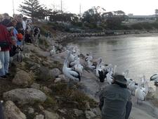 Pelican Feeding In Kinsgote
