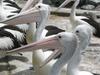 Pelicans  Tuncurry  N S W