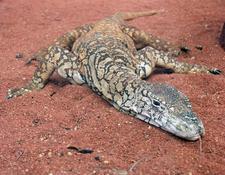 Perentie Lizard