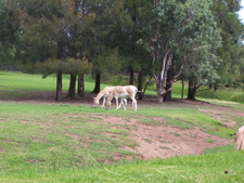 Persian Onagers At Taronga Western Plains Zoo