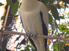 Pied  Imperial  Pigeon In Park