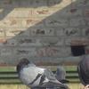 Pigeons In Mominpura