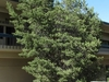 Pinon Pine