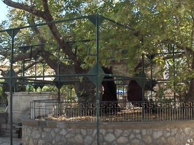 Plane Tree Of Hippocrates