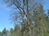 Poland  Bialowieza    Royal Oaks
