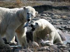 Polar Bears At Huntington Woods