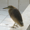 Pond Heron At Dhaka Zoo