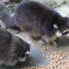 The Guadeloupe Raccoon