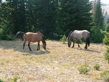 Pryor Range Wild Horses