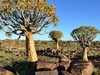 Quiver Tree Forest In Namibia