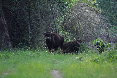 Bison At Nagarhole National Park