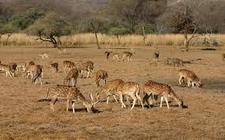 Ranthambore Deers