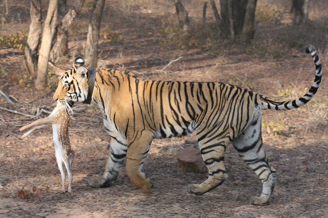 Nature Adventure Rajashtan Safari Land of Tigers Photos
