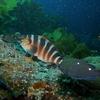 Red Moki @ Poor Knights NZ Diving Site