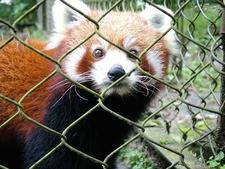 Red Panda Darjeeling