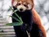 Red Panda-Eaglenest Wildlife Sanctuary