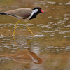 Red-wattled Lapwing (Vanellus Indicus) At Sultanpur
