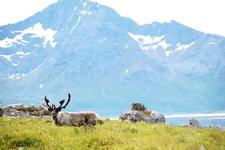Reindeer In Norway Rekvika Troms Norway