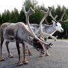 Reindeer Near Kuusamo - Finland