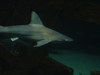 Requin à Shark Reef