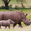 Rhinoceros With Baby At Lake Nakuru