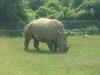 Rhino Grazing At The African Lion Safari