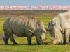 Rhinos Along Lake Nakuru