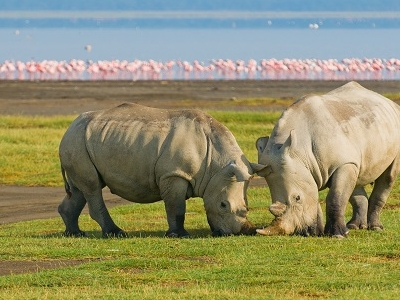 Rhinos Along Lake Nakuru