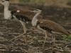 Rollapadu Wildlife Bird