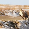 Rough-Legged Buzzard - Mongolia Gobi Desert
