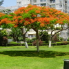 Royal Poinciana In Ramat Gan