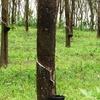 Rubber Trees In Kerala