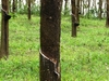 Rubber Trees In  Kerala