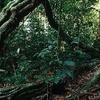 Rainforest Understory In Lambir Hills National Park