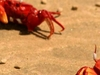 Red Crabs On Talsari Beach
