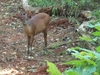 Red Duiker At Pigeon Valley