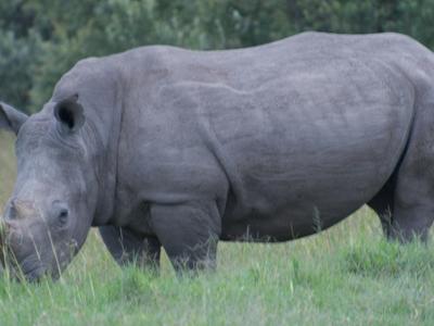 Rhino In Kigio Conservancy