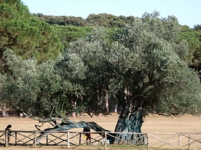 1700 Year Old Olive Tree