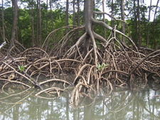 Aerial Roots Of Red Mangrove