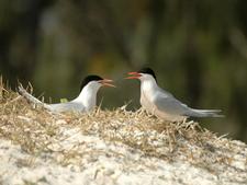 Roseate Terns In Park
