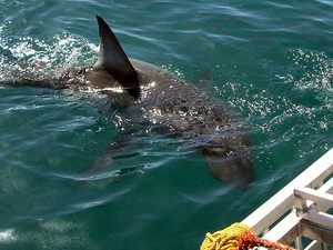 Cage Diving With Great White Sharks From Cape Town Photos