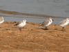 Sanderlings On The Chilika Lake